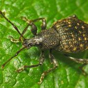 getting rid of vine weevils with Diatomaceous Earth